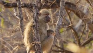 Kasanka Baboon and Baby_Guardians of the Wild