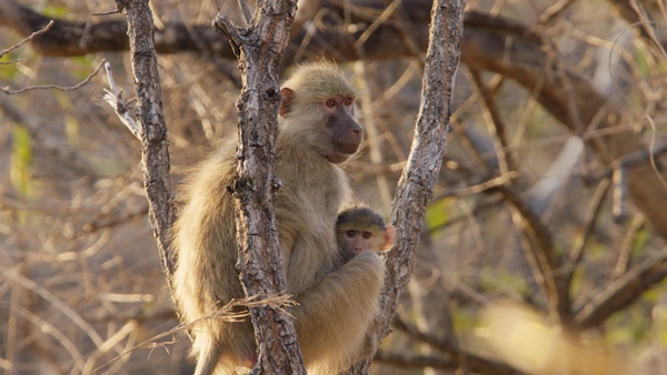 Kasanka Baboon and Baby_Guardians of the Wild
