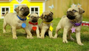 Cutie Pugs from Little Engine Moving Pictures