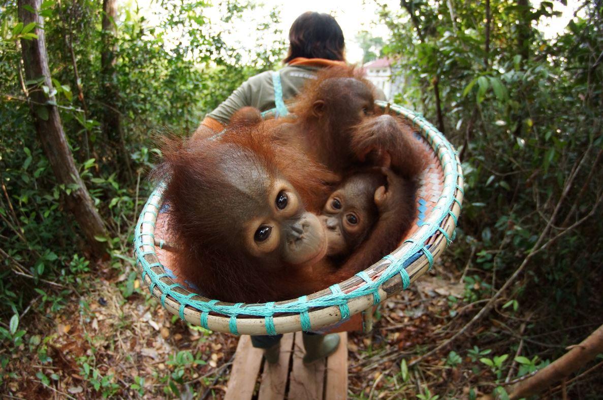orangutan-jungle-school